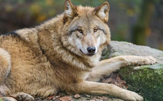 Картина по номерам на холсте «Волк в лесу» — Купить за 2 ...